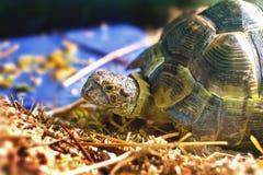 Sköldpaddan i ett akvarium klibbade hennes huvud ut ur skalet Royaltyfria Foton