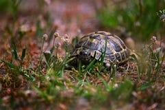 Sköldpaddan kryper upp en vandringsled royaltyfri bild