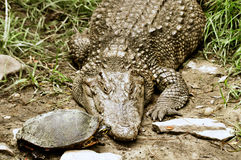 Sköldpaddan kysser krokodilen Arkivbild