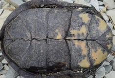 Sköldpaddan ligger uppochnervänt på baksidan Vanlig flodtortoi royaltyfri foto