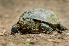 Sköldpaddan med gräsplan och guling flår den fulla kroppen för skottet i naturlig envi Royaltyfri Fotografi