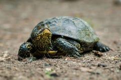 Sköldpaddan med gräsplan och guling flår den fulla kroppen för skottet i naturlig envi Arkivbild