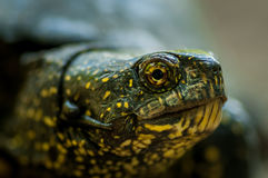 Sköldpaddan med gräsplan och guling flår skottet i naturlig miljö Arkivfoton