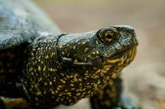 Sköldpaddan med grön hud och guling pricker skottet i naturlig environme Fotografering för Bildbyråer