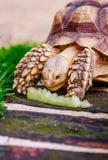 Sköldpaddan på den gröna ängen äter royaltyfri bild