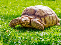 Sköldpaddan på den gröna ängen äter arkivfoton