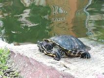 Sköldpaddan på ett torrt vaggar Fotografering för Bildbyråer