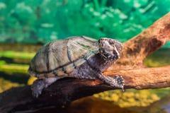 Sköldpaddan på ett träd ser kameran Royaltyfria Foton