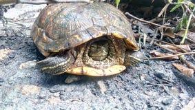 Sköldpaddan segrad ` t kom ut från honom huset för ` s Arkivfoto