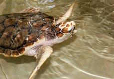 Sköldpaddan simmar i vatten royaltyfri fotografi