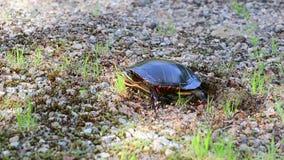 Sköldpaddan slätar jord med fot ut arkivfilmer