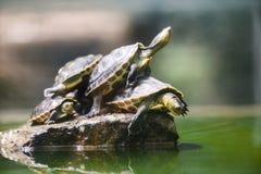 Sköldpaddan som är rolig på, vaggar vattendammet/det kinesiska bandet hånglade sköldpaddan fotografering för bildbyråer