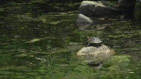 Sköldpaddasammanträde på en vagga (1 av 2) stock video