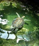 Sköldpaddasimning Arkivbild