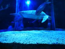 Sköldpaddasimning i behållare fotografering för bildbyråer