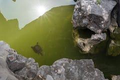 Sköldpaddasimning i dammet Arkivbilder