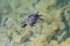 Sköldpaddasimning i ett damm arkivbilder