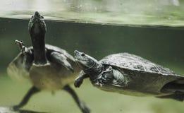 Sköldpaddasimning i vattnet Royaltyfri Fotografi