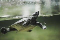 Sköldpaddasimning i vattnet Arkivfoton