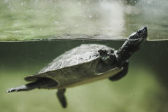 Sköldpaddasimning i vattnet Royaltyfria Foton