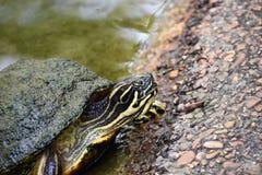 Sköldpaddasköldpadda arkivbild