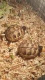 Sköldpaddasköldpaddor Fotografering för Bildbyråer