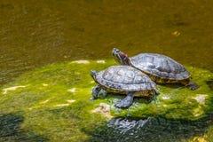Sköldpaddasolbadning på en sten i ett damm Royaltyfria Bilder