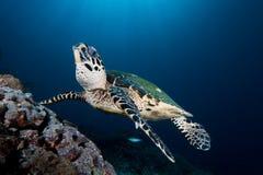 Sköldpaddasvalor Arkivbilder