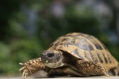 SköldpaddaTestudo Hermanni Arkivbilder