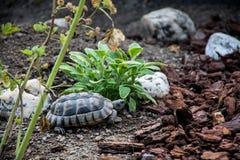 SköldpaddaTestudoMarginata äter europeisk landturtle 11 Arkivfoto