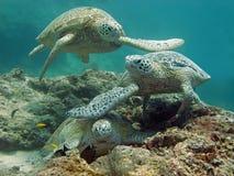 Sköldpaddatrafikstockning Royaltyfri Fotografi