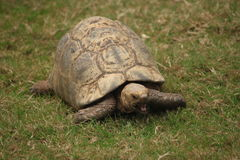 Sköldpaddatunga arkivbilder
