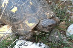 Sköldpaddaturtoisereptil Royaltyfri Foto