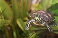 sköldpaddavatten Royaltyfri Fotografi