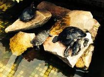Sköldpaddavatten stenar bakgrund Royaltyfri Bild
