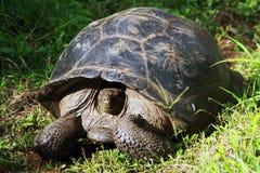 sköldpaddor Arkivfoto