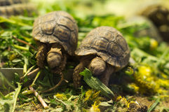 Sköldpaddor Royaltyfria Foton