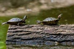 2 sköldpaddor Royaltyfri Foto