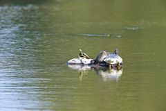 sköldpaddor Arkivfoton