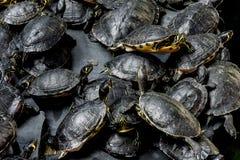 sköldpaddor Royaltyfri Foto