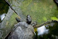 sköldpaddor Arkivbilder