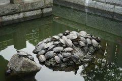 sköldpaddor Royaltyfri Fotografi