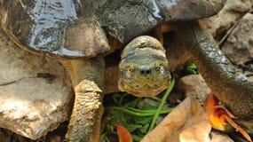 Sköldpaddor bor i ett sköldpaddadamm, väntar på turisten som matar deras mat Royaltyfri Foto
