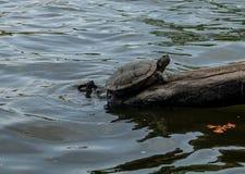 Sköldpaddor går på filialer Arkivfoto
