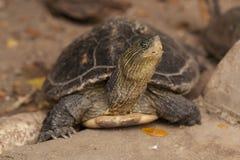 Sköldpaddor härliga sköldpaddor Arkivbilder