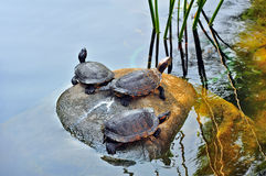 Sköldpaddor i damm royaltyfria foton