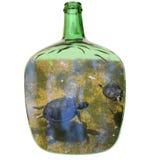 Sköldpaddor i en glass damejeanne Royaltyfri Bild
