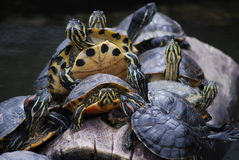 Sköldpaddor i en rad Royaltyfria Bilder
