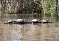 Sköldpaddor i en rad Arkivfoto