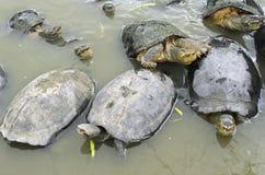 Sköldpaddor i en väntande på mat för damm Fotografering för Bildbyråer